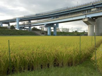 高速道路下の田んぼ(刈入れも近い?)